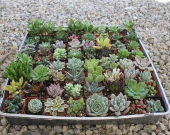 """SAMPLE 4 Beautiful 2"""" Assorted Succulent plants Collection plastic pots succulents great for gifts & WEDDING FAVORS+"""