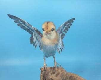 taxidermy of  freak flying chick,made by Real chick head with parrot body ,free shipping to everywhere