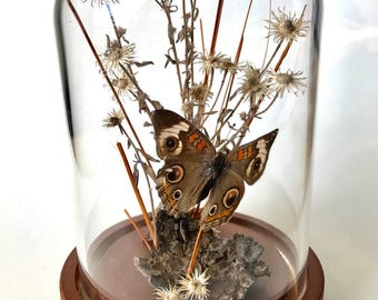 Real Buckeye Moth Butterfly mounted in Glass Dome Display Cloche