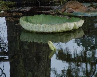 Lily Pad Mississippi Swamp Photo, Free Shipping, Original Signed Photo, Gatorland Nature Photography, Natural Swamp Photo