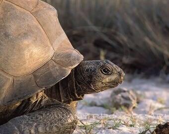 Turtle Clipart, Tortoise Photo, Wildlife Photo, Nature Photography, Printable Nature Decor, Coastal Decor, Wall Art, Brown, Instant Download