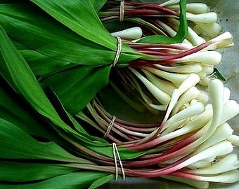 Wild Bear Garlic, Ramsons, 50 seeds, gourmet treasure, woodland wildflower, Allium ursinum, cool weather, moist shade, gentle flavor, lovely