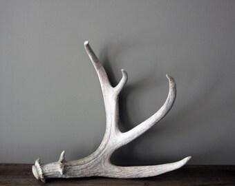 Large Natural Shed Deer Antler