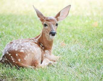 little fawn - wildlife photography white tail deer