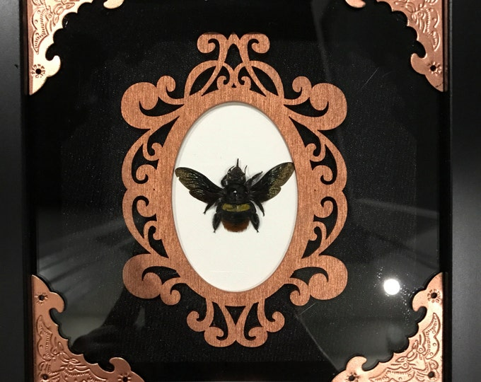 Real eastern carpenter bee taxidermy display!