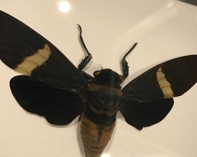 Real cicada tacidermy display! Must see!