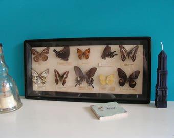 Antique Vintage Framed Butterflies Biological Educational Teaching School Model 1930