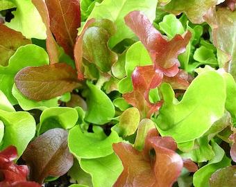 VLM) MESCLUN MIX Lettuce~Seeds!!!~~~~My Favorite Lettuce!