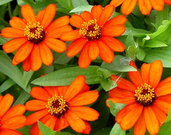 "AZPR)~PROFUSION-ORANGE Zinnia~Seeds!!!!~~~~~12"" of Brightness!"