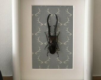 Framed Stag Beetle