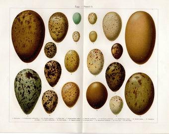 1915 Antique Egg Print Large Print Vintage Kitchen Art Vintage Bird Eggs