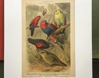 Parrots...original lithograph book plate circa late 1800's