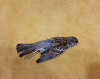 house sparrow dead mount