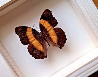 Real Single Butterfly Framed - Taxidermy - Home Decoration - Collectibles