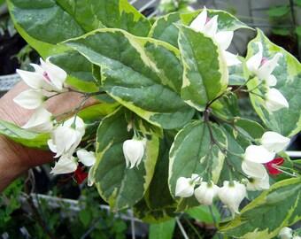 Clerodendrum thomsoniae   Varigated White Bleeding Heart Vine   Pint Plant
