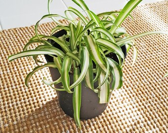 Live Healthy Healthy Variegated Spider Plant, in 3 inch pot.  Grown organically!!!   Free Shipping!  Cannot ship to CA, AZ, HI