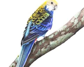 Parrot- Rosella - Bird Drawing - Australian - Wildlife - Art - Original Artwork