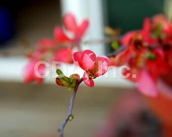 Flowering Quince Bud, Digital Download