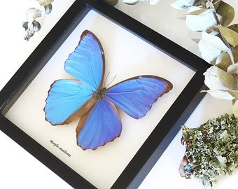 Real taxidermy framed blue metallic Morpho butterfly BJMA