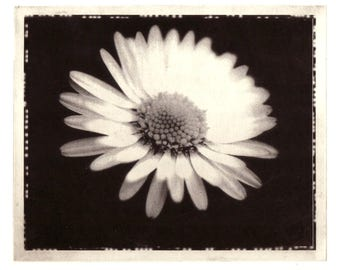 Daisy Solar plate Etching