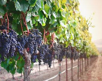 Harvest Time - canvas print. landscape fine art print. vineyard fine art. winery fine art. california landscapes. vineyard photography