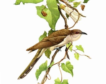 "Black-Billed Cuckoo painted by J F Landsdowne for the book Birds of the Eastern Forest:1 The page is 9 1/2"" wide and 13"" Tall."