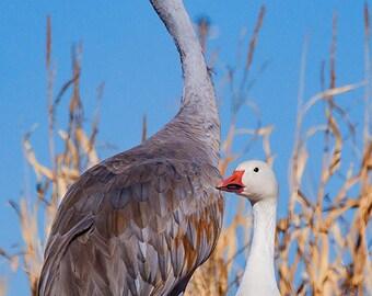Canvas Ready to Ship: Sandhill Crane & Snow Goose, Bosque del Apache, Whimsical, Office Print, New Mexico, Bird Photo, SynVisPhotos