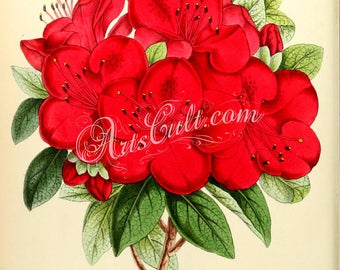 flowers-15049 - Azalea Sir Robert Napier Rhododendron hybrid Evergreen vintage printable illustration floral botanical image in large size