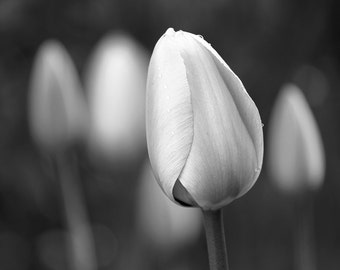 tulips, flowers, black and white print, botanical print, fine art photography, home decor, flower photography, nature photography, 8x10