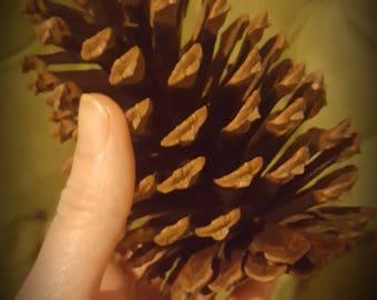 Natural Loblolly Pinecones