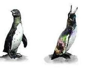 Galapagos Penguin Medley