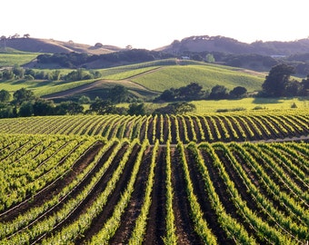Napa Valley Vineyards, California ,USA