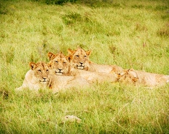 Three wild Lions. South Africa