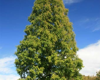Dawn Redwood  Metasequoia glyptostroboides   50 Seeds