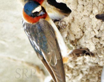 Share A Little Shelter - PHOTO PRINT - Cliff Swallows in Nest