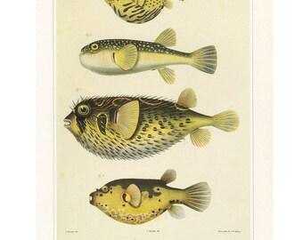 Puffer Fish Print Book plate SALE Buy 3, get 1 Free