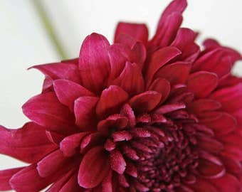 Flower Photography, Red Chrysanthemum, Flower Photo, Fine Art Print, Red Flower, Floral Photography, Close Up, Studio