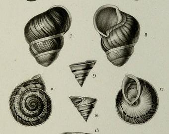 1849 Antique print of SEASHELLS. Seashell. Conchs. Molluscs. Mollusks. Sea Shells. Sea Life. 166 years old very decorative lithograph.