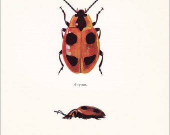 vintage False Ladybird beetle red spotted insect art print Endomychus coccineus Scarlet Endomychus home decor natural history 8x10 inches