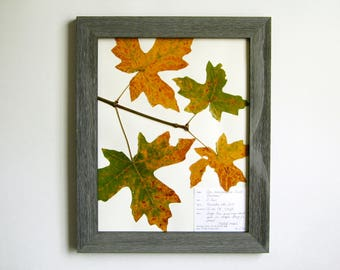 Real Pressed Maple Leaves 11x14 Framed Herbarium Specimen Art, 218a, pressed leaves art pressed plant art dried leaves botanical with label