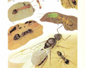 Vintage Insects Coloured Book Plate -  Ants -  Ideal For Framing # 151