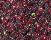 Organic Western Boysenberry Jam