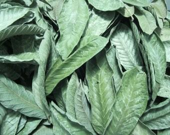 Air dried 150pcs. Organic guava leaves, psidium guajava linn raw leaves (bayabas) tea