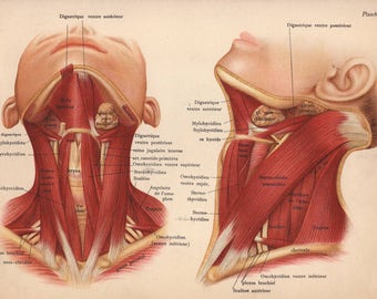 1905 neck muscles, tendons & ligaments print - Human anatomy, physiology, medical wall decor - 112 yr old victorian illustration (C587)