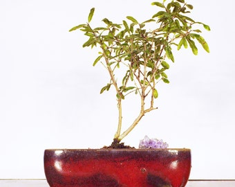 A pomegranate bonsai with a purple amethyst in a burgundy pot. This bonsai flowers and produces a small red fruit.