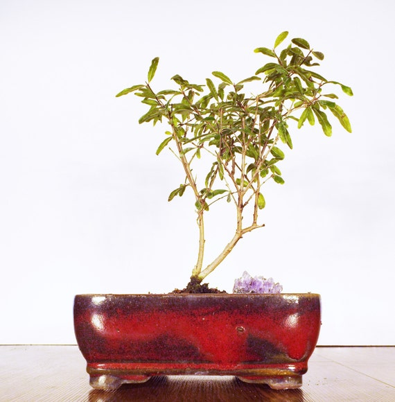 A pomegranate bonsai with a purple amethyst in a burgundy pot.