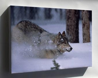Canvas 24x36; Gray Wolf Yellowstone
