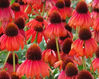 Firebird Echinacea Seeds (Echinacea paradoxa) 50+ Rare Heirloom Herb Seeds in Frozen Seed Capsules  for Seed Saving or Planting Now