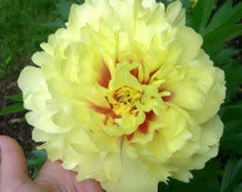 Itoh Peony Bartzella (2-3 eye bare root) ~ SHIPPING OCTOBER
