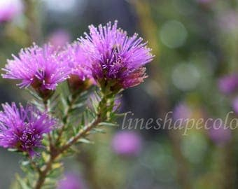 Pretty purple bush flowers - Nature photography print